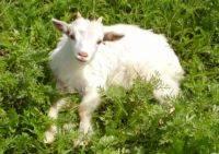 В Подмосковье родились козлята с человеческим ДНК