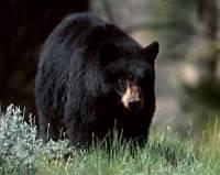 Мы выяснили: бурый медведь может спариваться