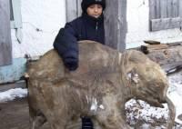 11-летний мальчик на Таймыре нашел древнего мамонтёнка