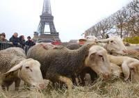 Французские фермеры привели к Эйфелевой башне 200 овец