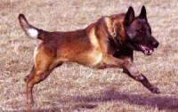 Клонированные в Корее собаки не справились с испытаниями кинологов МВД Якутии