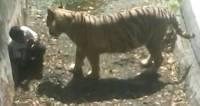 В Китае разозленный цирковой тигр напал на зрителей