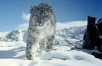 На плато Укок впервые получены фото снежных барсов