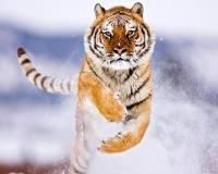 Тигры Борис и Светлая, выпущенные на волю в ЕАО, уже воспитывают трех детенышей