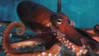 Исследователи заявили об инопланетном происхождении осьминогов