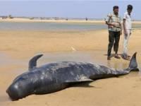 Ученые выяснили, что заставляет китов выбрасываться на берег