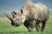 Видео: Дикий носорог подошел к человеку, попросив почесать ему живот