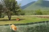 Видео: В Мексике львица попыталась атаковать туристов