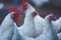 СМИ: 14 человек госпитализированы из-за вспышки птичьего гриппа в Подмосковье