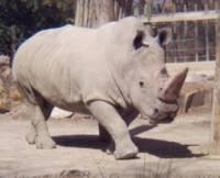 Во Франции браконьеры убили носорога в зоопарке