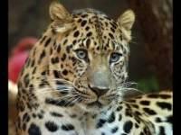 В Приморье самка леопарда родила двух котят