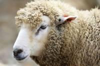 Турецкий фермер обнаружил в ухе овцы рот с зубами
