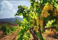 Господдержка виноградарей Крыма в этом году увеличится в 1,5 раза