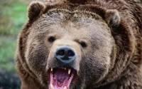 На Камчатке медведь напал на человека