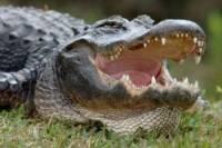 В США аллигатор отобедал упавшим в болото летчиком