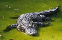 В Китае около 80 крокодилов сбежали из зоопарка во время ремонта террариума