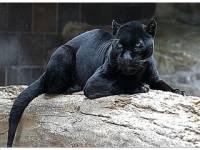 СМИ: Пантера загрызла смотрителя в подмосковном частном питомнике
