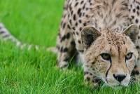 В США у самки гепарда родились сразу восемь котят