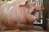 Китайского фермера растерзала огромная агрессивная свинья