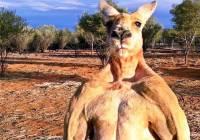 В австралийском заповеднике умер всемирно известный кенгуру Роджер