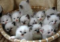В Китае готовятся к массовому клонированию котят