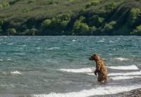 На Сахалине спасли огромного медведя, угодившего в браконьерский капкан