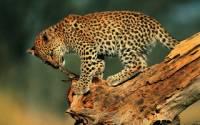 В приморском заповеднике появилась новая семья дальневосточных леопардов