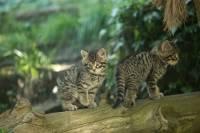 В горах Шотландии спасены два котенка редкого вида