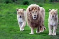 В ЮАР львиный прайд растерзал банду, которая охотилась за носорогами
