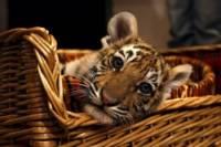 Канал France 2 признал ошибку в сюжете про Путина с тигром