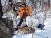 В Приморье отловили неадекватного тигра, похищавшего собак на погранзаставе
