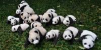 Китайское кафе выдавало крашеных собак за детенышей панд