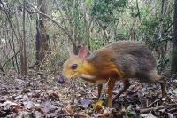 Во Вьетнаме замечен считавшийся вымершим маленький олень