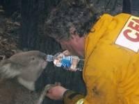В заповеднике Австралии из-за лесных пожаров погибли больше половины коал