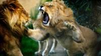 В Кении сбежавший из нацпарка лев растерзал мужчину