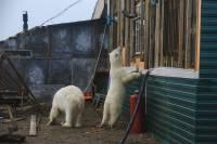 На Новой Земле на медведей наденут ошейники с чипом
