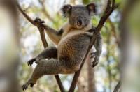 В Австралии сфотографировали «самого сексуального» самца коалы