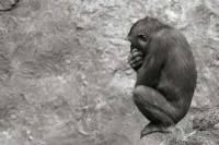 Под Иваново цирковая обезьяна покусала за лицо маленькую девочку