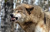 В Приамурье зашедший в село волк покусал четырех человек
