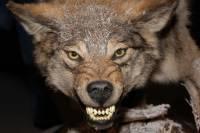 Волк, напавший на людей в Приамурье, был бешеным