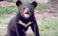 В Приморье после года реабилитации вернулся в тайгу гималайский медвежонок