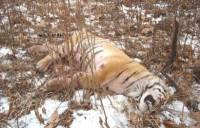 Под Хабаровском убили амурского тигра, задравшего корову