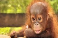 На Бали арестовали россиянина, пытавшегося вывезти из страны детеныша орангутана