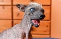 Умерла самая некрасивая собака Великобритании