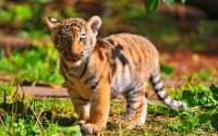 В зоопарке Сиднея показали детенышей суматранского тигра