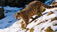 На Курайском хребте зоологи обнаружили девять снежных барсов