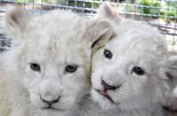В Крыму родились детеныши у пары редчайших белых львов