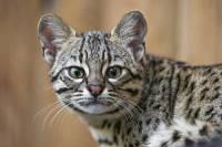 В зоопарке Новосибирска впервые принесли потомство кошки Жоффруа