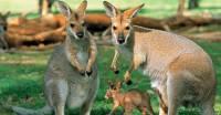 Власти Западной Австралии призывают туристов не угощать кенгуру вредной пищей