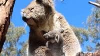 Австралийским зоологам удалось подсадить детеныша коалы в сумку суррогатной матери